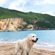 Foto Stock: Labrador retriever on beach