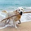 Labrador retriever on beach — Stock Photo #26681311
