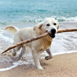 Labrador retriever on beach — Stock fotografie #26681311