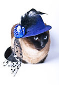 Funny Animal Cute Siamese Hilarious Humor Cat isolated on the white background — Stock Photo