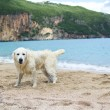 Labrador retriever playing on the beach — Stock Photo