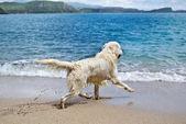 Labrador retriever playing on the beach — Stock Photo