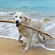 Labrador retriever dog playing on the beach — Stock Photo #44604539
