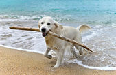 Labrador retriever dog playing on the beach — Stock Photo