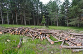 Freshly cut tree trunks piled up in forest — Stock Photo