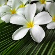 Plumeria — Stock Photo #40637869
