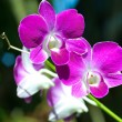 Orchids — Stock Photo #40833093