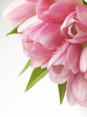 Pink tulips flowers — Stock Photo