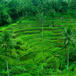 Stock Photo: Rice terrace