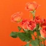 Tender natural roses — Stock Photo