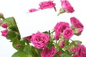 Delicate pink roses — Stock Photo