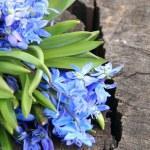 Blue Scilla — Stock Photo #23819949