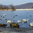 Swans and ducks on lake at winter time - Stock Photo