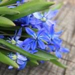 Blue Scilla — Stock Photo #23820875