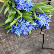 Blue Scilla — Stock Photo