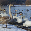White swans and ducks — Stock Photo