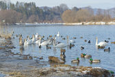Swans and ducks on lake at winter time — Stock Photo