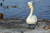White swan at winter time — Stock Photo