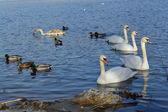 White swans and ducks on lake at winter time — ストック写真