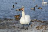 Blancos cisnes y patos en el lago en época de invierno — Foto de Stock