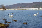 Kuğular ve kış zamanında gölde ördekler — Stok fotoğraf