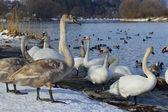 White swans and ducks — Stock Photo