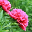 Beautiful garden of red peonies — Stock Photo