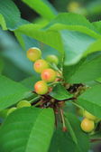 Cherry tree with berries still green — Stock Photo