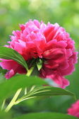 Pink peony flower in the garden — Stock Photo