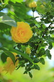 Bright spring rose bushes in the garden — Stock Photo