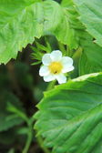 Green bush blooming in the spring strawberries — Stock Photo