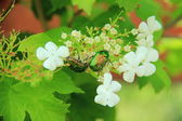 Rose chafer (cetonia aurata) on the cherry flowers — Stock Photo