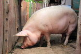 Side view of a pig on a farm — Stock Photo