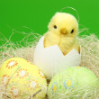 Basket with colored eggs and chicken on a green background for the Easter theme — Stock Photo