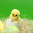 Little Easter basket with eggs and chicken on a green background — Foto Stock