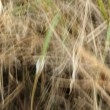 Long dry grass as background — Stock Photo