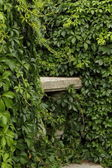 Background with green ivy wall — Stock Photo
