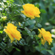 Bunch of lovely yellow roses - flowers and plants — Stock Photo
