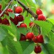 Red cherries on the tree — Stock Photo
