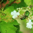 Cockchafer they eat cherry blossoms — Stock Photo