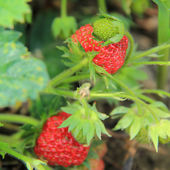 Ripe strawberry bushes in the garden — Stock Photo