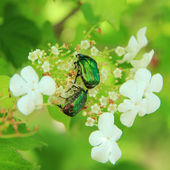 White Cherry Rose chafer on the cherry flowers — Stock Photo