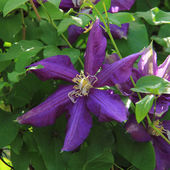 Purple clematis in the garden — Foto de Stock