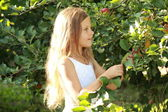 Little girl picks apples in an apple orchard — Stock Photo