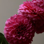 Pink dahlia — Stock Photo #31806167