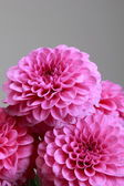 Pink dahlias — Stock Photo
