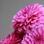 Pink dahlia — Stock Photo #31810061