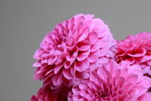 Natural pink dahlias — Stock Photo