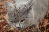 British kitten in autumn park — Stok fotoğraf