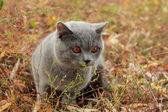Gatinha britânica no parque outono — Fotografia Stock